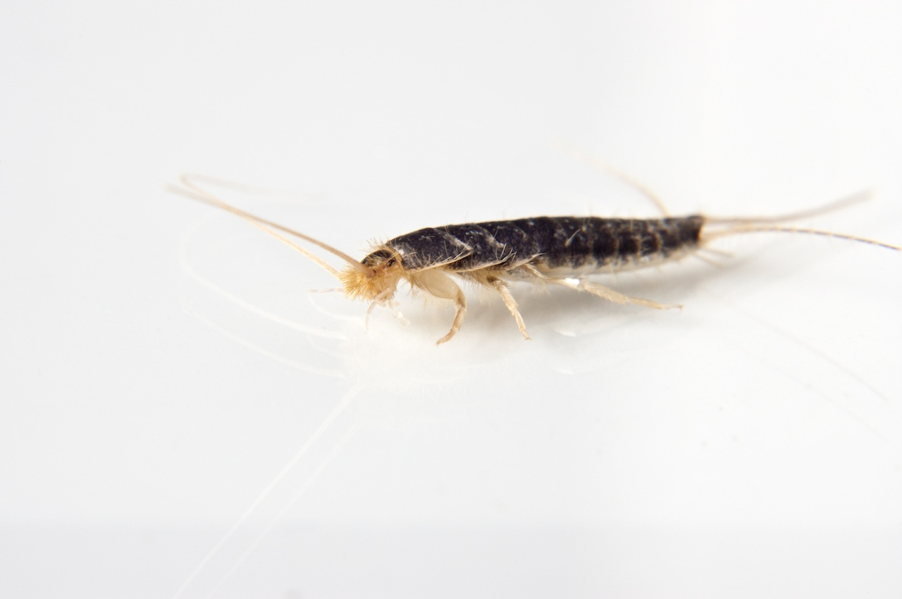 Silverfish Prevention And Control Silverfish Treatment