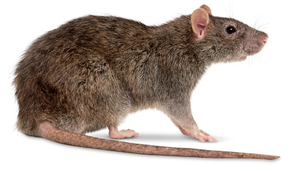 Rat Pest Control Sydney Get Rid Of Rats And Mice Bugs