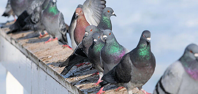 Bird Mite Treatment Sydney Domestic Bird Lice Removal